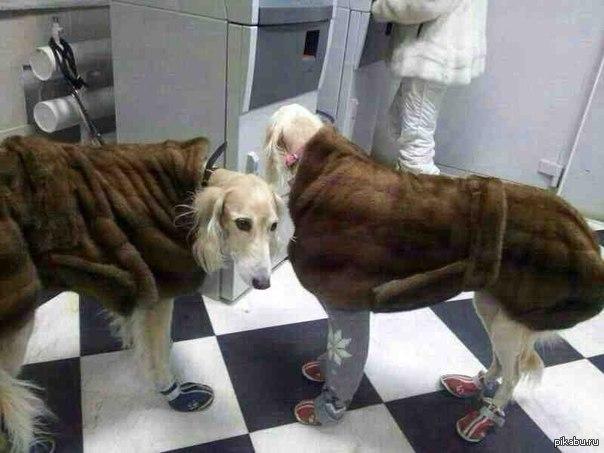 Даже собаки в Якутске на понтах...