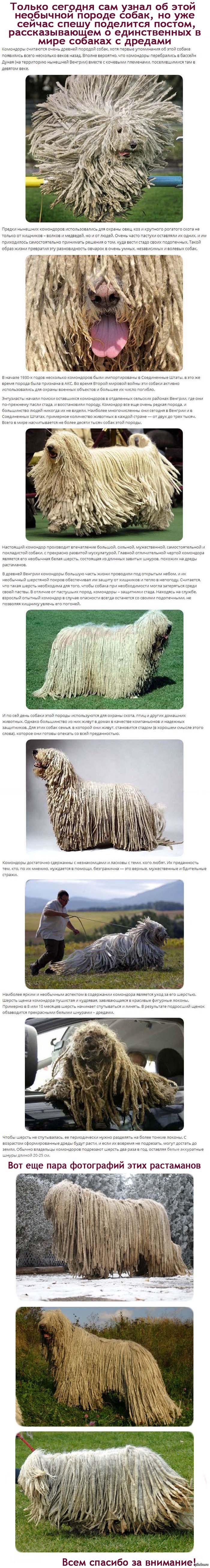 Командор - собака, которая носит дреды