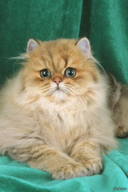 Persian cat medical problems