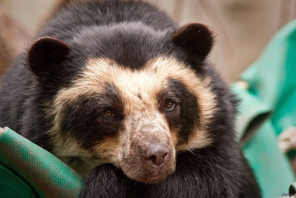 Очковый медведь.   Минутка удивительной природы на пикабу. Очковый медведь представитель семейства медвежьих. Этот пугливый и осторожный зверь обитает в Южной Америке. Днем его увидеть почти невозможно.
