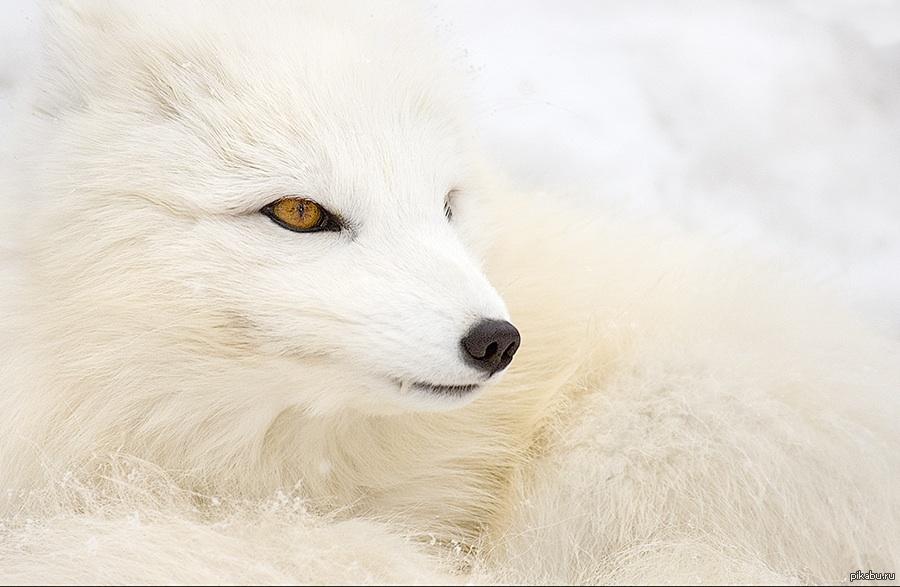 попадёте красивые картинки на аву лисы белые активно
