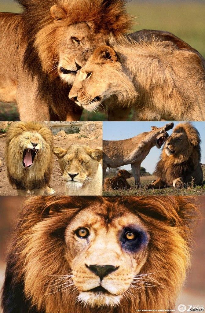 Картинки со львами с надписями