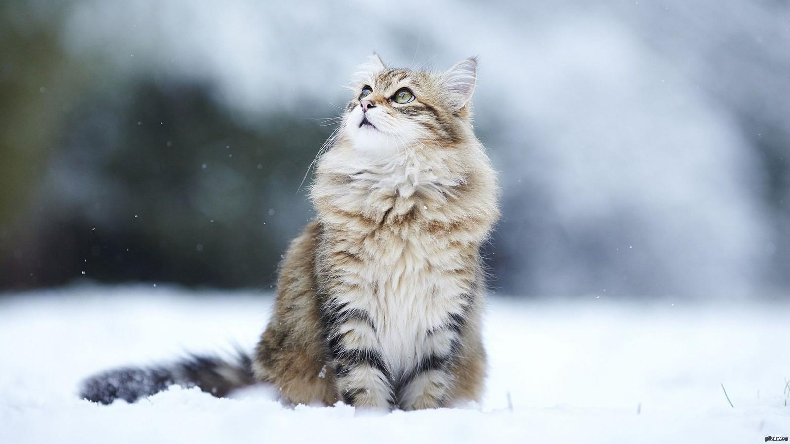 Картинки кота на снегу